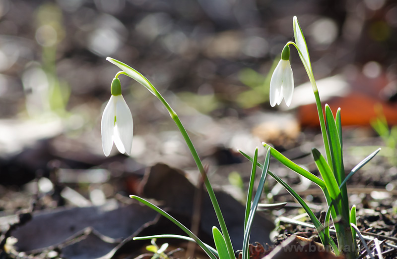 First spring flowers zbynek burival photography first snowdrops of the 2015 not the best composition but there were no other options available i had to stack two pictures to get both flowers sharp mightylinksfo