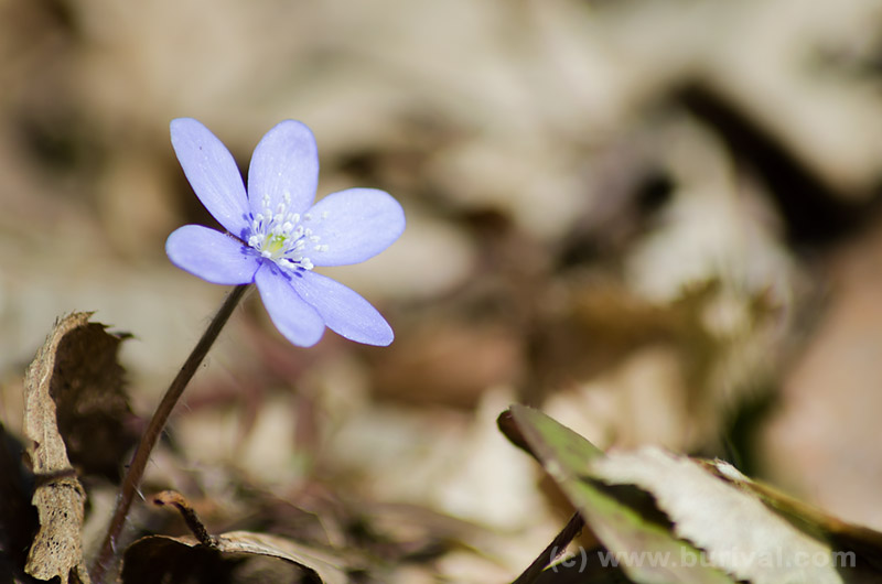 flowering hepatica nobilis
