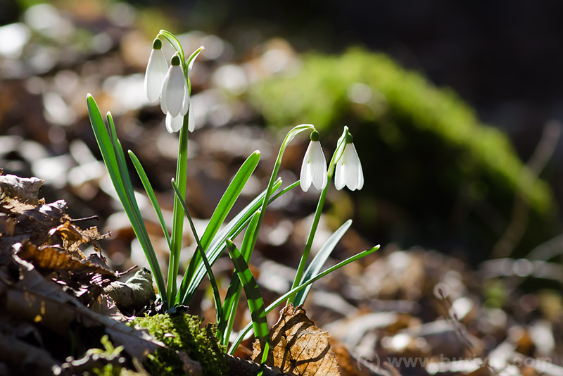 flowering snowdrops in the forest