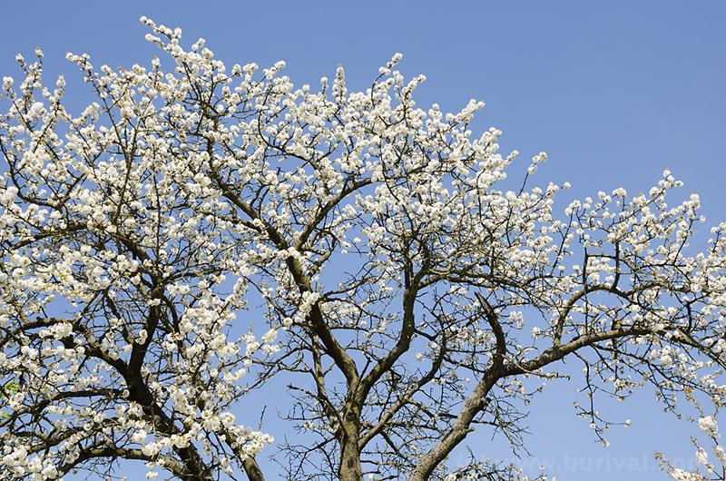 cherry-bloom