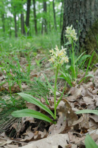 Elder-flowered Orchid