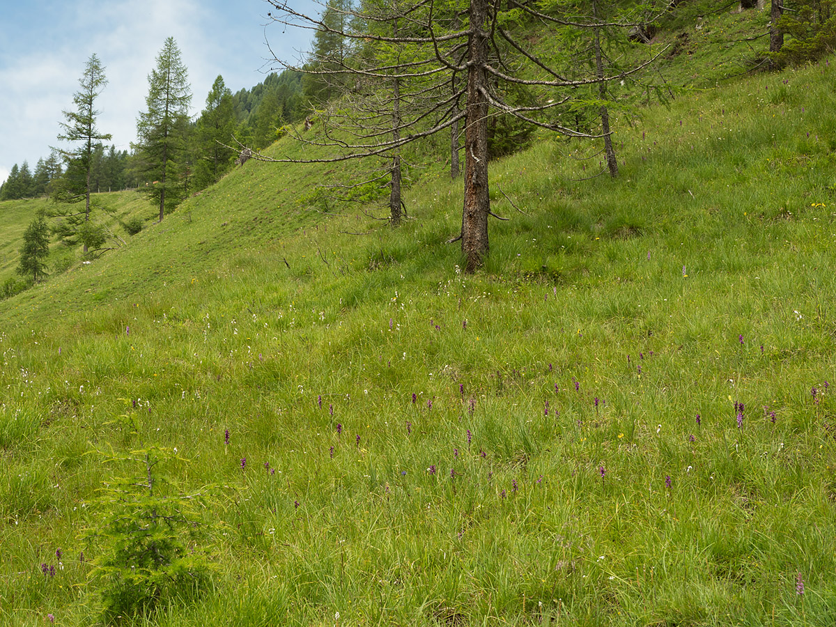 Alpine meadow with Orchids