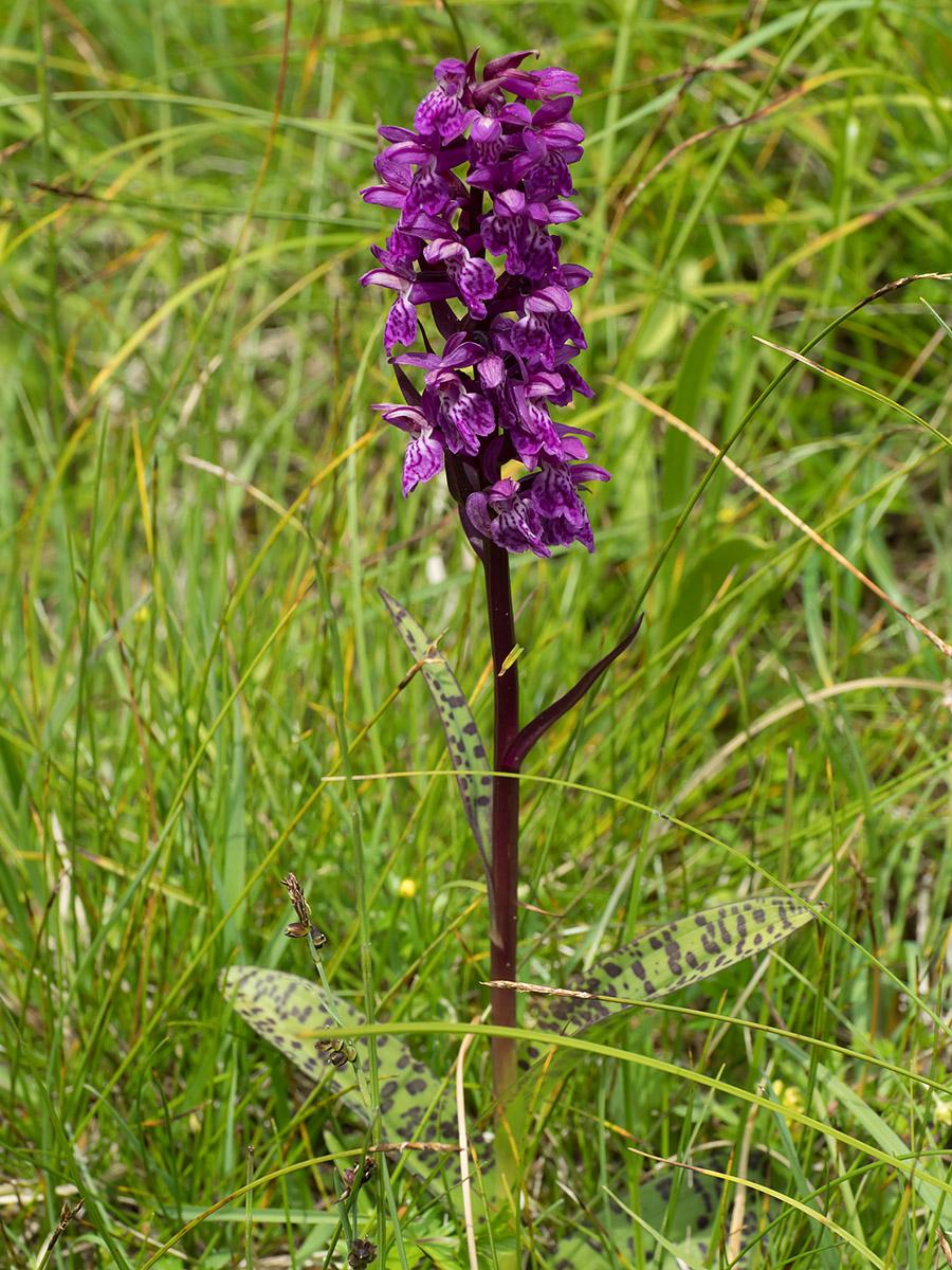 Flowering Dactylorhiza majalis Orchid