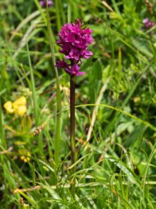 Flowering_Nigritella_orchid