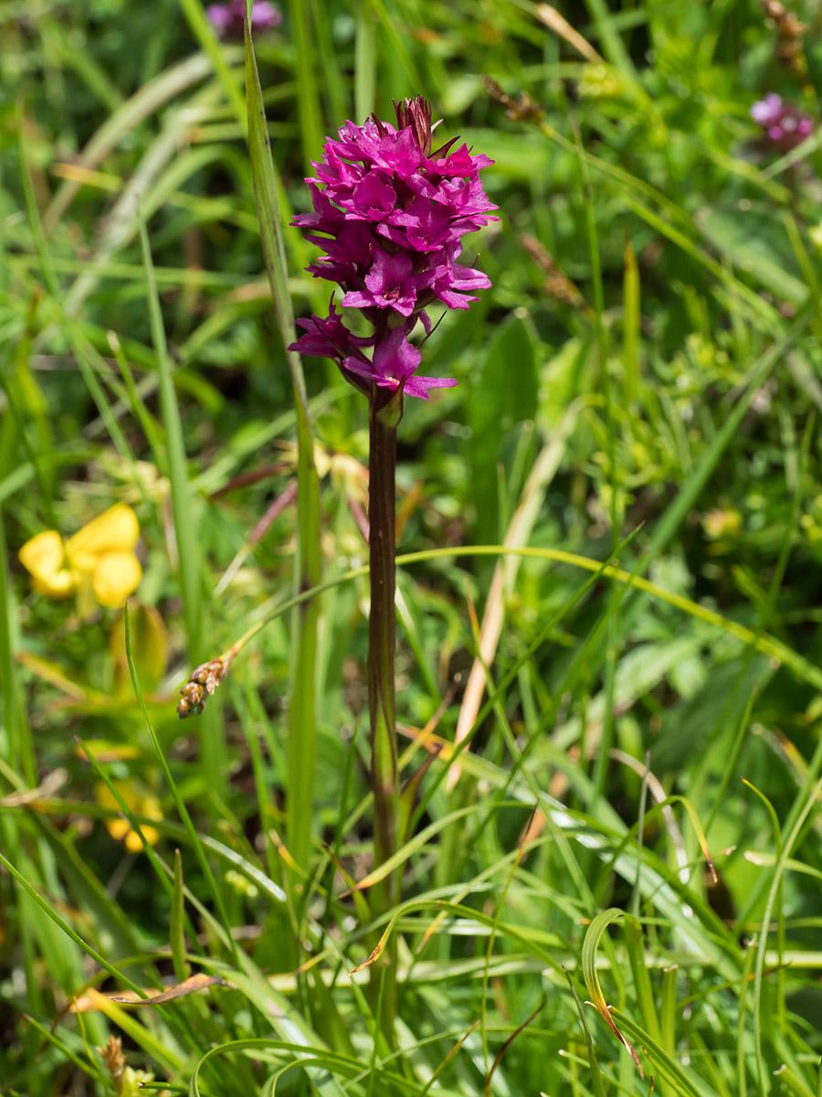 Flowering_Nigritella_orchid