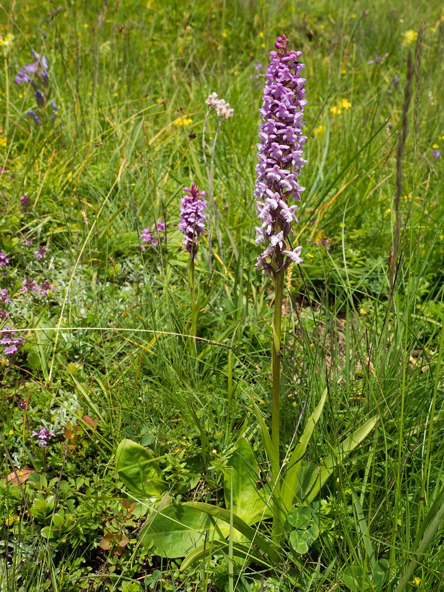 Flowering Gymnadenia conopsea Orchid