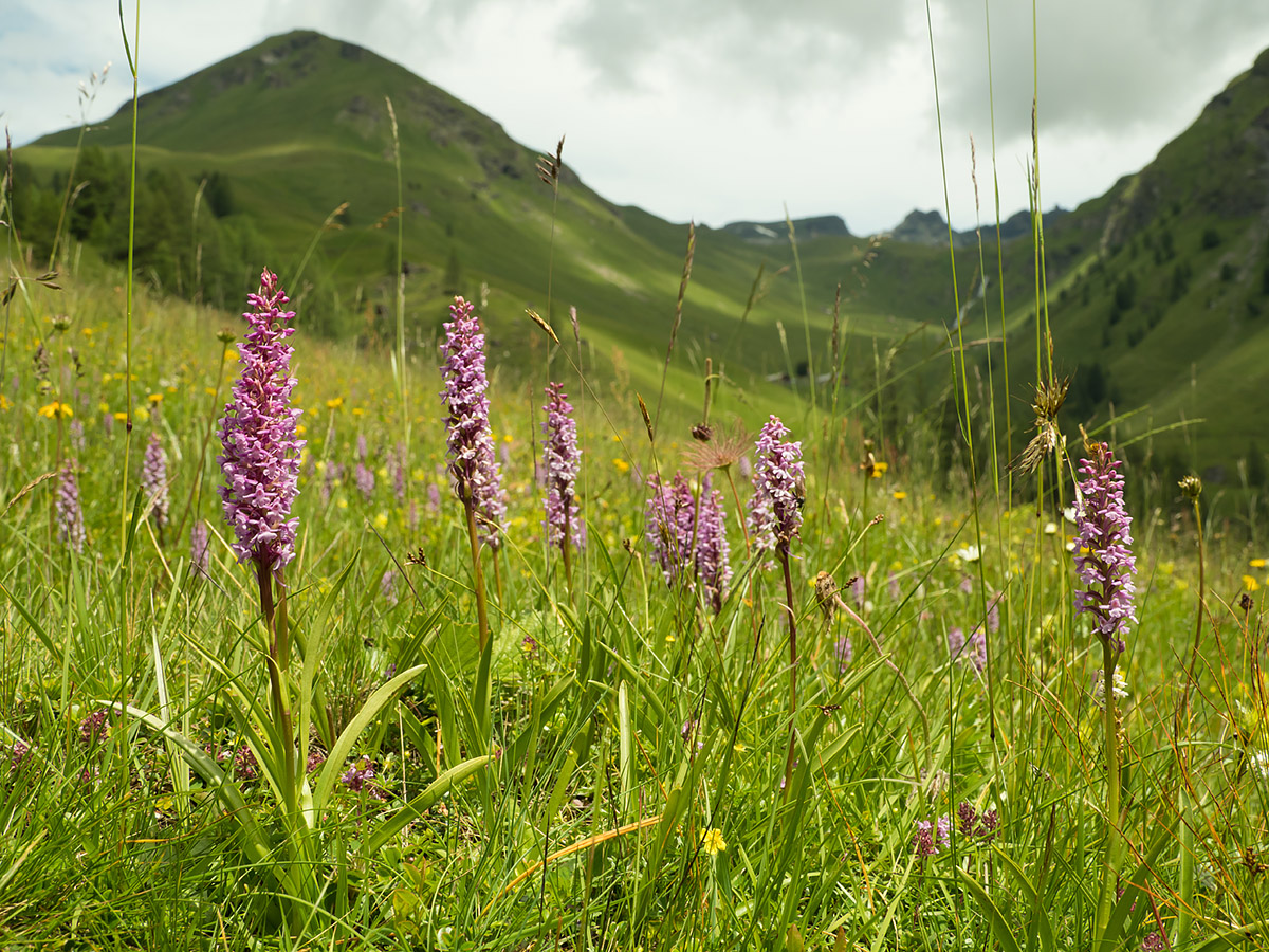 Alpine meadow with flowering Orchids