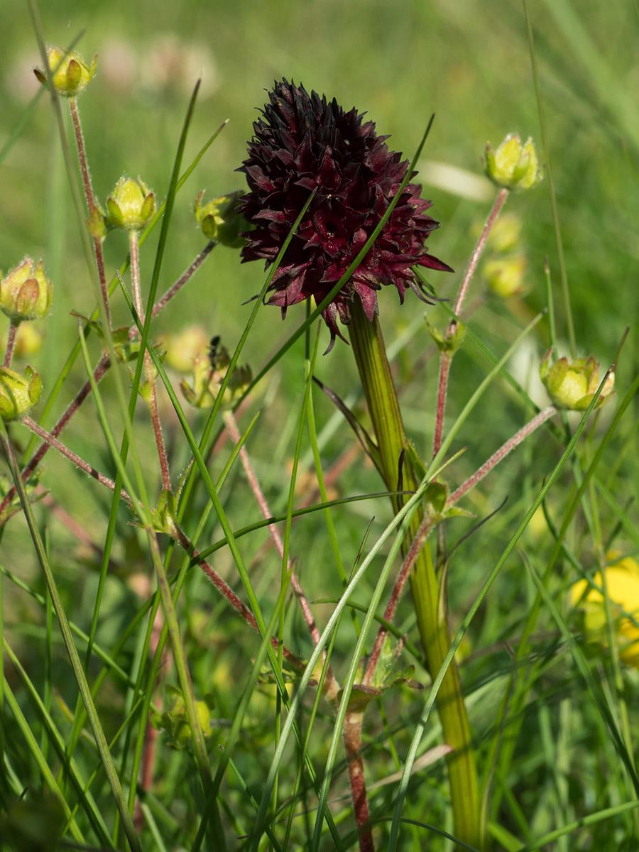 Flowering Nigritella nigra Orchid